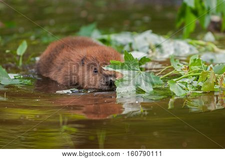 North American Beaver (Castor canadensis) Kit Peeks From Behind Leaf - captive animal