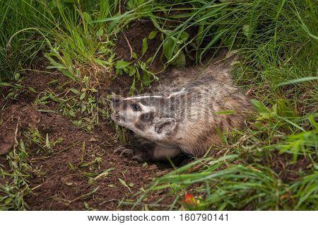 North American Badger (Taxidea taxus) Displays Claws - captive animal