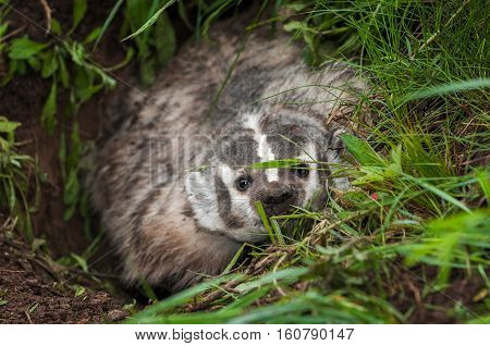 North American Badger (Taxidea taxus) Peers Angrily Out of Den - captive animal