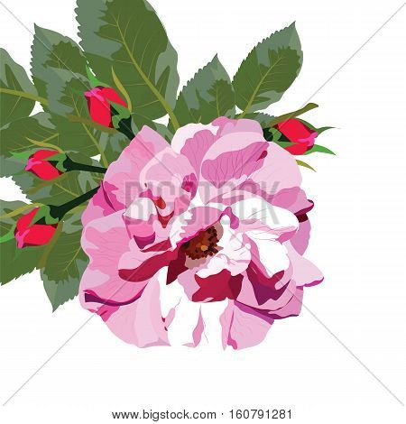 Delicate Pink Rose isolated. Vector rosebuds flower blossom for background greeting cards, wedding, birthday, Valentine's Day, Mother's Day