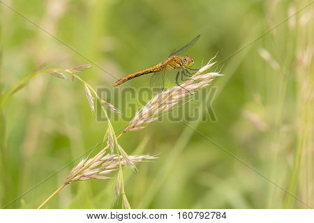 Ruddy Darter (Sympetrum sanguineum) fresh female resting on a Grass-Stalk