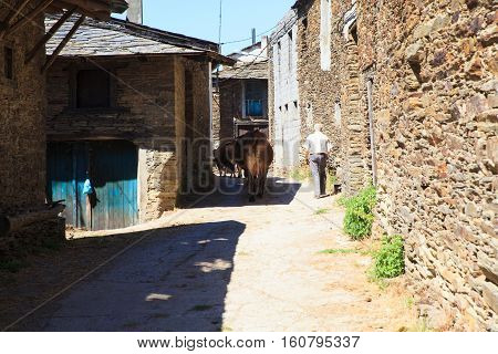 GALICIA SPAIN - AUGUST 10: Breeder with his cows on 10 2016