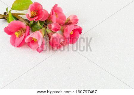 Japanese Rose Flowers On White Background