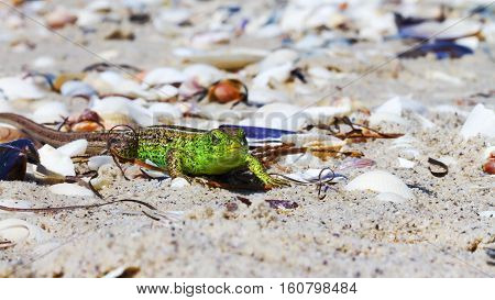 Green Lizard On The Sand In Focus (lacerta Viridis, Lacerta Agilis) Is A Species Of Lizard Of The Ge