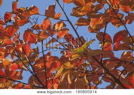 Autumn Crepe Myrtle Leaves and Branches In The Fall