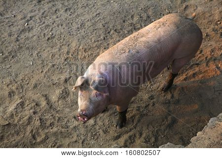 View of the domestic pig in the pigpen