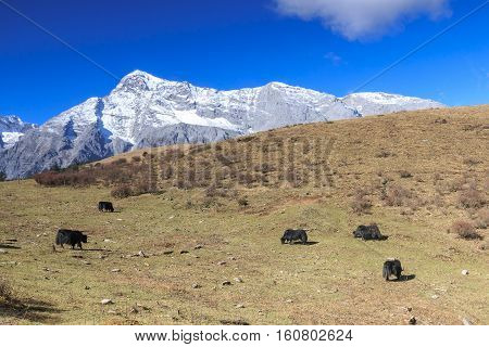 Panoramic view of the Jade Dragon Snow Mountain in Yunnan China with some yaks on foreground