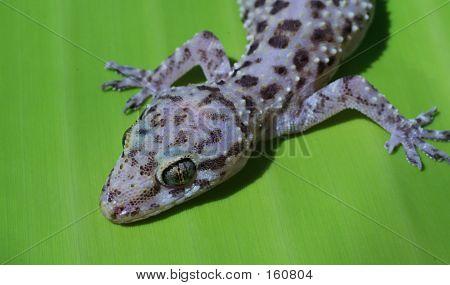 Medgeckoon Bananaleaf