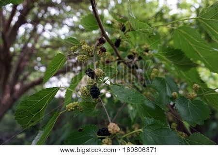Black mulberries ripen in a mulberry tree (Morus alba) during June in Joliet, Illinois