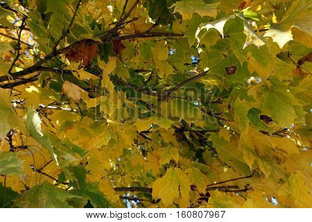 Autumn foliage of a sugar maple tree (Acer saccharum) in Joliet, Illinois during November.