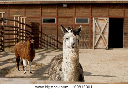 portrait of alpaca against the background of the barn