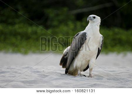 Eagle at Perhentian Island Terengganu Malaysia. Nature place for eagle.