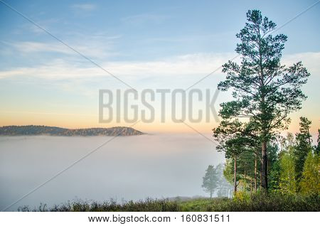 conifer tree at the top in the morning mist. thick morning mist in coniferous forest. thickets of green forest.