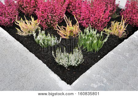 Fragment of urban beautification. The angle of concrete flower bed with white and red heather close up.