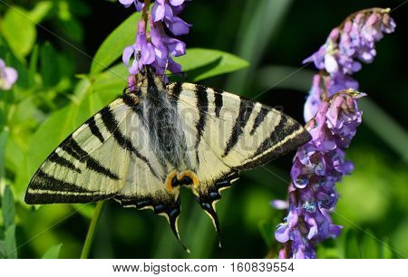Eastern Tiger Swallowtail butterfly (Papilio glaucus) feeding on purple flowers. Natural green background