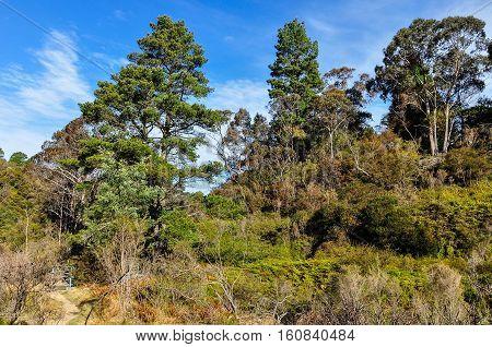 Forest Near Wentworth Falls, Australia