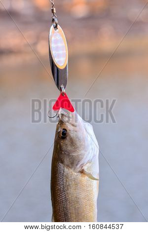 Largemouth Bass Fish
