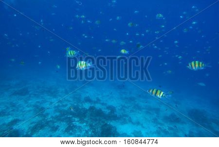 Underwater landscape with dascillus coral fishes. Yellow and black striped coral fish. Blue sea lagoon with coral reef.