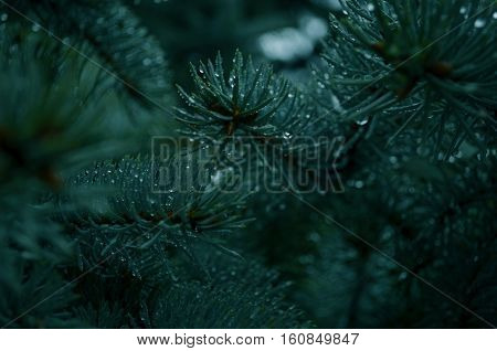 Green Christmas tree with sharp prickles on a rainy day