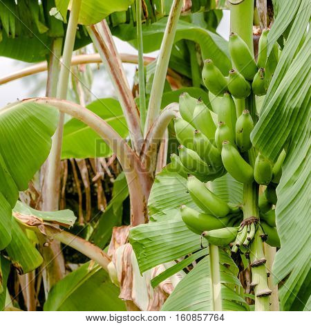 Green organic banana bunch on the tree tropical climate fruit square
