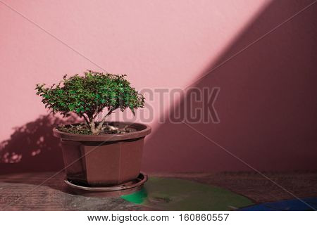 A little green tree in pot and on the table.