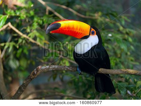 Toucan Ramphastos toco sitting on tree branch in tropical forest or jungle