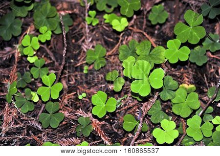 This is a photo of a clover patch.
