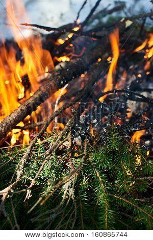 Lit a fire of fir branches closeup