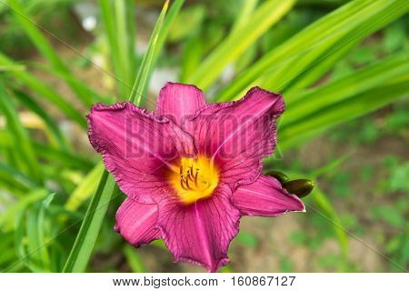 A Large flower of a pink daylily