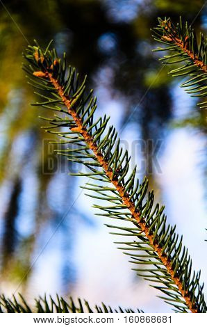 Close-up of the fir tree branch with needles
