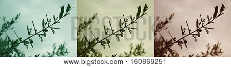 An olive branch with lots of burgeoning buds on it, in three tones.