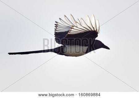 magpie in flight (pica caudata)