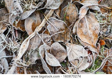 background of autumn frozen leaves