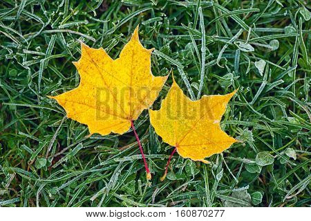 two yellow maple leaves on green frozen grass