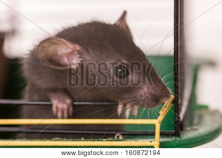 portrait of baby rat in a cage