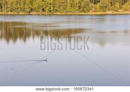water of forest lake with a swimming loon