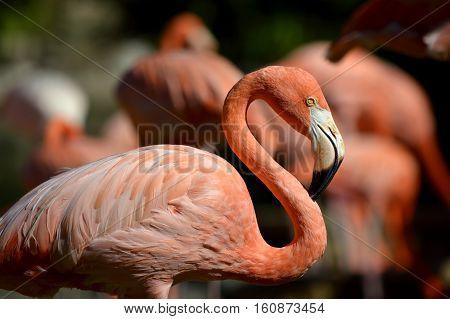A Caribbean flamingo Latin name Phoenicopterus ruber
