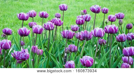 Beautiful Tulips Flowers Background. Fragment of a Flower Bed with Growing Double Petal Lilac Tulips. Decoration landscaping in the City Park Garden. Spring Time Horizontal Image Wide Screen