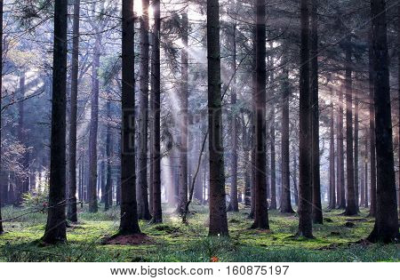 morning sunbeams in autumn foggy coniferous forest