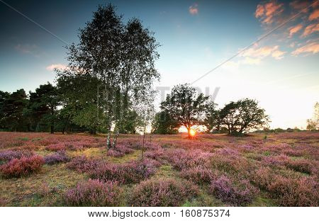 warm sunset over meadow with flowering heather in summer