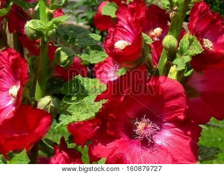 macro photo of bright beautiful flowers of herbaceous plants of the Mallow with petals of deep crimson hue as the source for design and art print