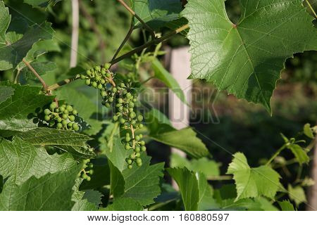 Green Ripening Bunches Of Grapes