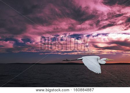 Eastern Great Egret (Ardea alba modesta) in full flight with a Purple Mauve Sunset over water. Photographed on the Australia east Coast.