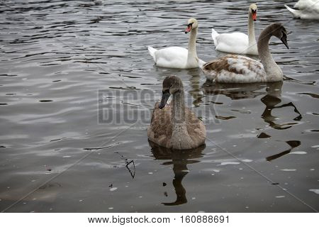 A brown swan swimming among other brown and white swans.