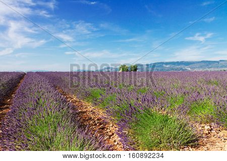Plateau Valensol - lavender field with summer blue sky and clouds, France