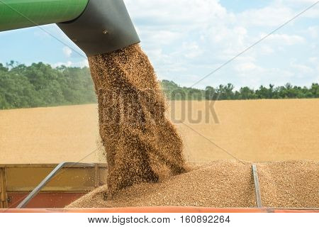 Combine harvester transferring freshly harvested wheat to trailer for transport
