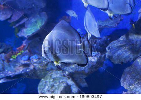 Circular batfish Platax orbicularis in water sea photo