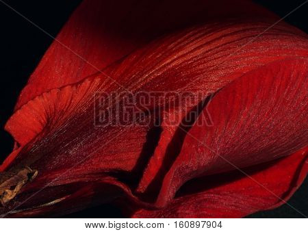 Velvety soft petals and passionate shades of red caress the velvety surface of this beautiful flower.