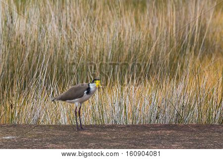Masked lapwing (Vanellus miles) also called masked plover or spur-winged plover