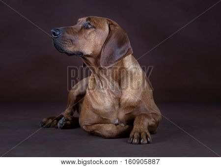 Rhodesian Ridgeback lying down in front of the camera